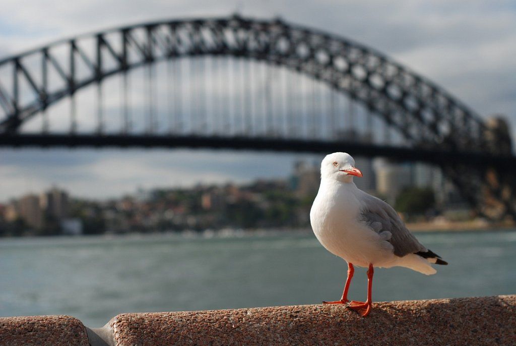 Gull at Harbour Bridge